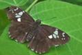 [ダイミョウセセリ][セセリチョウ科][クズ][黒いチョウ][黒い蝶]ダイミョウセセリ