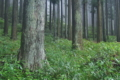 [スギ林][杉林][スギ][杉][熊出没注意]スギ林