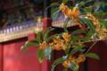 [キンモクセイ][モクセイ科][金木犀][オレンジ色の花][妙義神社]キンモクセイ