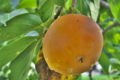 [柿][カキ][民家][庭先][オレンジ色の実]柿