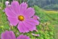 [コスモス][キク科][オオハルシャギク][秋桜][ピンク色の花]コスモス