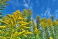 [セイタカアワダチソウ][キク科][背高泡立草][秋空][黄色い花]セイタカアワダチソウ