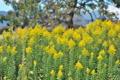 [セイタカアワダチソウ][キク科][背高泡立草][キリ][黄色い花]セイタカアワダチソウ