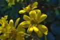 [ツワブキ][キク科][艶蕗][補陀寺][黄色い花]ツワブキ