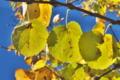 [カツラ][カツラ科][桂][黄葉][黄色い葉]カツラ