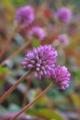 [ヒメツルソバ][タデ科][ポリゴナム][多年草][ピンク色の花]ヒメツルソバ