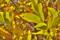 [栗][クリ][栗畑][黄葉][黄色い葉]