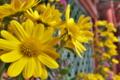 [菊][菊花展][一ノ宮][貫前神社][黄色い花]菊