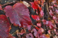 [ツタ][ブドウ科][蔦][ツル][赤い葉]ツタ