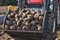 [コンニャク畑][コンニャク芋][蒟蒻芋][こんにゃく芋][芋掘り]コンニャク畑