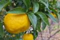 [柚子][ユズ][ゆず][柚子湯][黄色い実]柚子