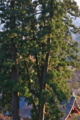 [御神木][老杉][大杉][大スギ][巨木]御神木