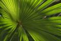 [シュロ][ヤシ科][棕櫚][ワジュロ][掌状]シュロ