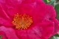 [山茶花][サザンカ][さざんか][ツバキ科][ピンク色の花]山茶花
