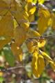 [蝋梅][ロウバイ][ロウバイ科][蝋梅油][黄色い葉]蝋梅