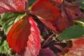 [イチゴ畑][苺畑][いちご畑][バラ科][赤い葉]イチゴ畑