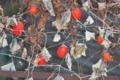 [カラスウリ][ウリ科][烏瓜][ヤマノイモ][赤い実]カラスウリ