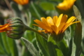 [ヒメキンセンカ][キク科][金盞花][キンセンカ][黄色い花]ヒメキンセンカ