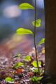 [サカキ][ツバキ科][榊][神棚][妙義神社]サカキ