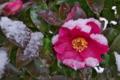[雪の日][山茶花][サザンカ][赤門広場][妙義神社]雪の日