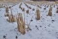 [田んぼ][田園][稲株][雪][積雪]田んぼ