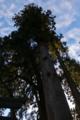 [御神木][パワースポット][老杉][三本杉][妙義神社]御神木