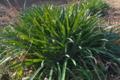 [ヒガンバナ][ヒガンバナ科][彼岸花][土手][畦]ヒガンバナ