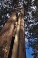 [杉][裏山][大樹][老杉][スギ]杉