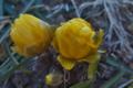 [フクジュソウ][キンポウゲ科][福寿草][多年草][黄色い花]フクジュソウ