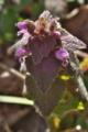[ヒメオドリコソウ][シソ科][春一番][畦][土手]ヒメオドリコソウ