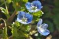 [オオイヌノフグリ][ゴマノハグサ科][畦][農道][青い花]オオイヌノフグリ