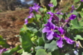 [オオアラセイトウ][アブラナ科][ショカツサイ][ムラサキハナナ][紫色の花]オオアラセイトウ