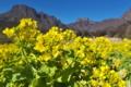 [菜の花畑][菜の花][アブラナ科][妙義山][黄色い花]菜の花畑