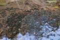 [ヤマアカガエル][アカガエル科][オタマジャクシ][卵塊][妙義神社]ヤマアカガエル