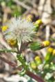 [ノボロギク][キク科][綿毛][筒状花][黄色い花]ノボロギク