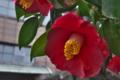 [椿][ツバキ科][ツバキ][旧碓氷社事務所][赤い花]椿