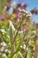 [ナズナ][アブラナ科][ペンペングサ][畦道][白い花]ナズナ
