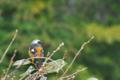 [ジョウビタキ][ツグミ科][冬鳥][庭先][ヒタキ科]ジョウビタキ
