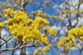 [サンシュユ][ミズキ科][庭木][ハルコガネバナ][黄色い花]