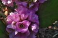 [ヒマラヤユキノシタ][ユキノシタ科][ウィンターベゴニア][ピンク色の花]ヒマラヤユキノシタ