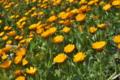[ヒメキンセンカ][キク科][フユシラズ][キンセンカ][黄色い花]ヒメキンセンカ
