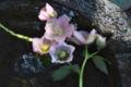 [レンテンローズ][キンポウゲ科][水盤][切り花][ピンク色の花]レンテンローズ