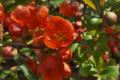 [クサボケ][バラ科][草木瓜][ボケ][赤い花]クサボケ