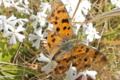 [キタテハ][タテハチョウ科][越冬明け][シバザクラ][白い花]キタテハ