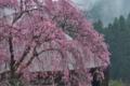 [桜][老桜][しだれ桜][枝垂桜][宝積寺]桜
