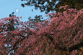 [桜][しだれ桜][枝垂桜][シダレザクラ][月][妙義神社]桜