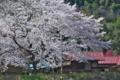 [桜][サクラ][さくら][堤防][高田川]桜