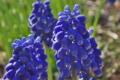 [ムスカリ][ユリ科][ブドウヒヤシンス][庭先][青い花]ムスカリ