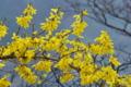 [レンギョウ][モクセイ科][ゴールデンベル][雨][黄色い花]レンギョウ