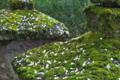[墓所][墓石][桜][花びら][妙義神社]墓所